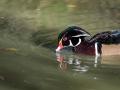 Canard Carolin Parc Ornithologique Saint hilaire la Palude deux Sevres-7706