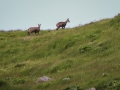 Chamois Sancy Val de Courre-8111.jpg