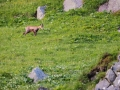 Chamois Sancy Val de Courre-8126.jpg