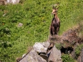 Chamois Sancy Val de Courre-8154.jpg
