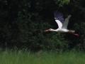 Cigogne blanche (1).jpg