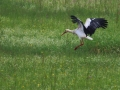 Cigogne blanche (3).jpg