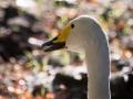 Cygne Chanteur Parc Ornithologique Saint hilaire la Palude deux Sevres-7670