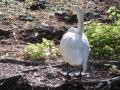 Cygne Chanteur Parc Ornithologique Saint hilaire la Palude deux Sevres-7671