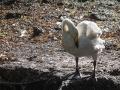Cygne Chanteur Parc Ornithologique Saint hilaire la Palude deux Sevres-7672