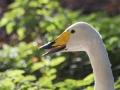 Cygne Chanteur Parc Ornithologique Saint hilaire la Palude deux Sevres-7675