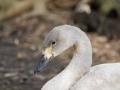 Cygne Chanteur parc Ornithologique Saint hilaire la Palude deux Sevres-7665