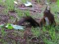 Écureuil roux  (1).jpg