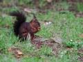 Écureuil roux  (10).jpg