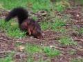 Écureuil roux  (11).jpg