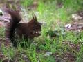 Écureuil roux  (12).jpg
