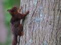 Écureuil roux 13 .jpg