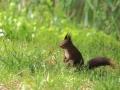 Écureuil roux  (2).jpg
