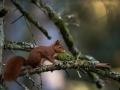 Écureuil roux-2734