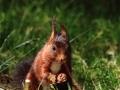 Écureuil roux  (3).jpg