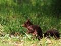 Écureuil roux  (4).jpg