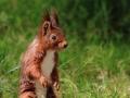 Écureuil roux  (5).jpg