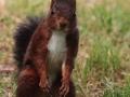 Écureuil roux  (6).jpg