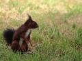 Écureuil roux  (7).jpg