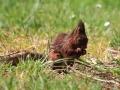 Écureuil roux  (8).jpg