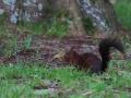 Écureuil roux  (9).jpg