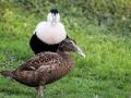 Eder à Duvet Parc Ornithologique Saint hilaire la Palude deux Sevres-7950