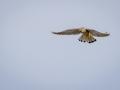 Faucon crécerelle-2211.jpg