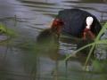 IMG_9532 lac du Grècq Orthez Foulque macroule (20).jpg