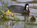 IMG_9532 lac du Grècq Orthez Foulque macroule(21).jpg
