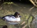Garrot à Oeil D\'or Parc Ornithologique Saint hilaire la Palude deux Sevres-7871