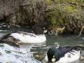 Garrot à Oeil D\'or Parc Ornithologique Saint hilaire la Palude deux Sevres-7932