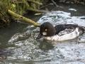 Garrot à Oeil D\'or Parc Ornithologique Saint hilaire la Palude deux Sevres-7935