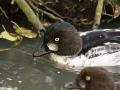 Garrot à Oeil D\'or Parc Ornithologique Saint hilaire la Palude deux Sevres-7937