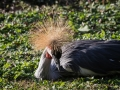 Grue royale Parc Ornithologique Saint hilaire la Palude deux Sevres-8102