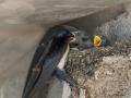 Hirondelle au nid-10.jpg