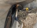 Hirondelle au nid-11.jpg