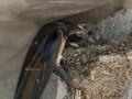 Hirondelle au nid-12.jpg