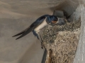 Hirondelle au nid-3.jpg