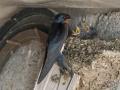 Hirondelle au nid-6.jpg
