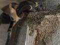 Hirondelle au nid-9.jpg