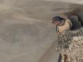 Hirondelle au nid.jpg