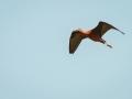 Ibis Falcinelle-6657.jpg