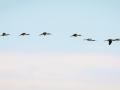 Ibis falcinelle-6200.jpg