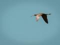 Ibis falcinelle-6228.jpg