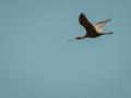 Ibis falcinelle-6229.jpg