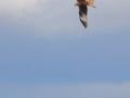 Milan royal 4 IMG_8392 reste de marque alaire blanche à l'aile droite. Il s'agît d'un oiseau né en 2005 et qui a perdu ses marques. Il niche sur chapdes beaufort.jpg