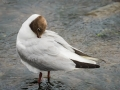 Mouette Rieuse-4051