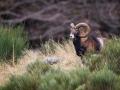 Mouflon-7400-2