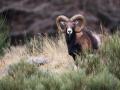 Mouflon-7402