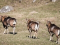Mouflon-7754